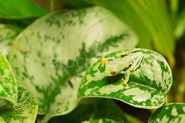 Red eyed frog Agalychnis callidryas Stock photo © artush