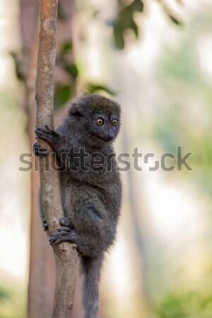 Stock photo: Eastern lesser bamboo lemur (Hapalemur griseus)