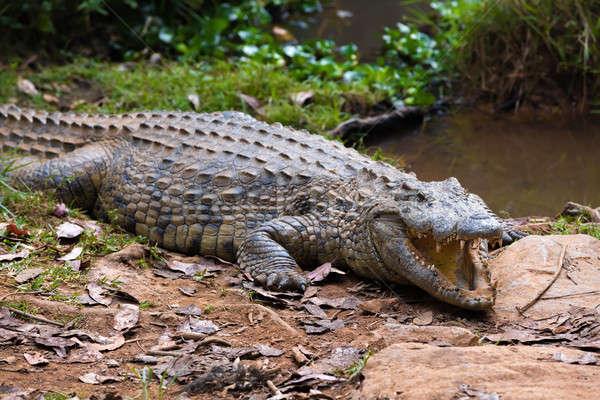 Madagascar Crocodile, Crocodylus niloticus Stock photo © artush
