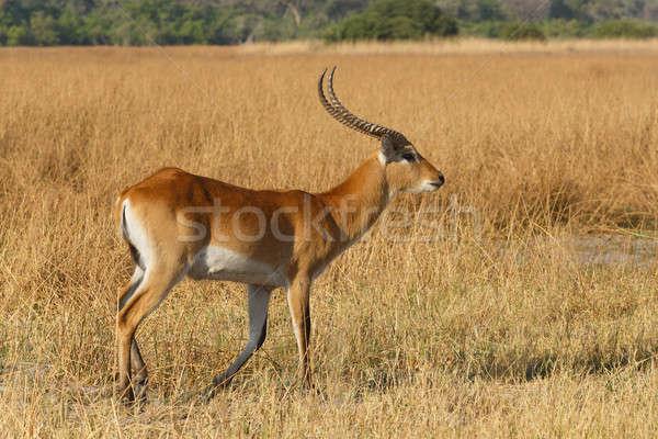 южный Ботсвана Африка игры резерв дельта Сток-фото © artush