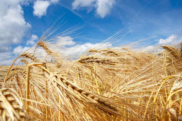 Złoty pole pszenicy Błękitne niebo biały chmury niebo Zdjęcia stock © artush
