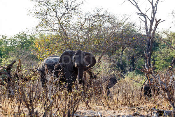 A herd of African elephants drinking at a muddy waterhole Stock photo © artush