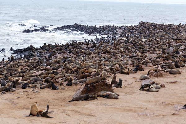 Enorme colonia marrón piel sello mar Foto stock © artush