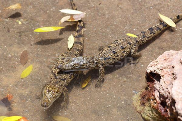 Baba krokodil kicsi szem száj fej Stock fotó © artush