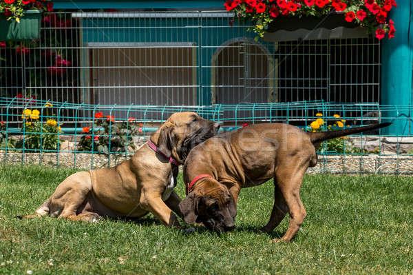 два щенков дог Открытый зеленая трава цветок Сток-фото © artush