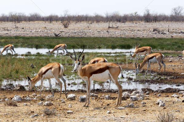 herd of springbok in Etosha Stock photo © artush