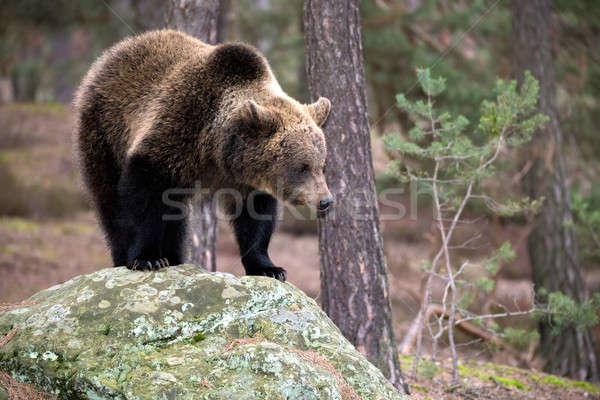Invierno forestales grande femenino tener Foto stock © artush