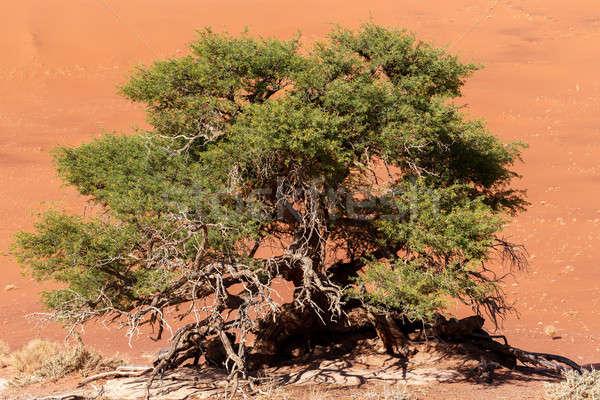 Verborgen woestijn groene klein boom dode Stockfoto © artush
