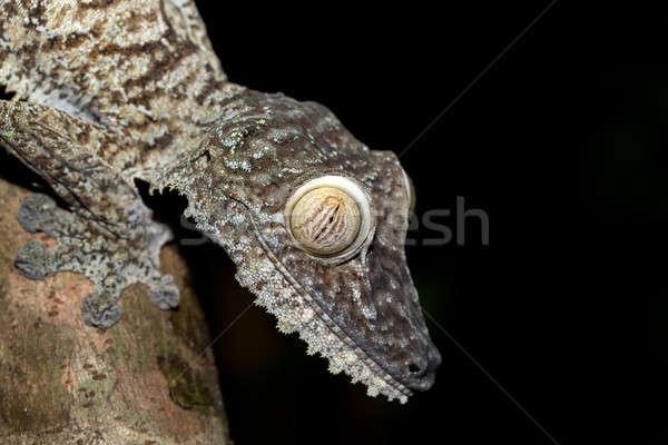 Giant leaf-tailed gecko, Uroplatus fimbriatus Stock photo © artush