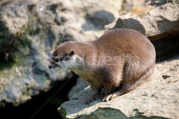 European otter family (Lutra lutra) Stock photo © artush