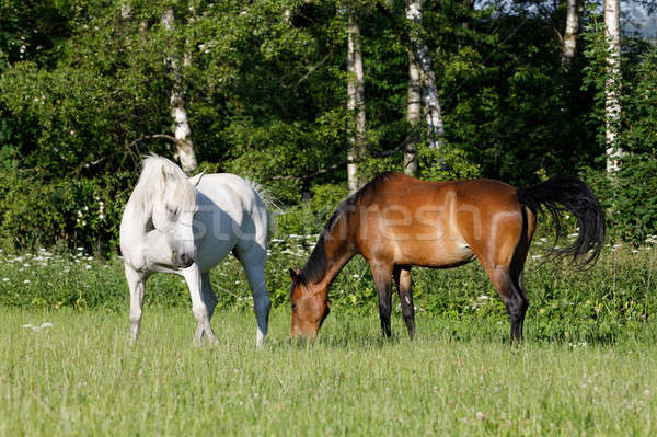 beautiful herd of horses graze in spring meadow Stock photo © artush