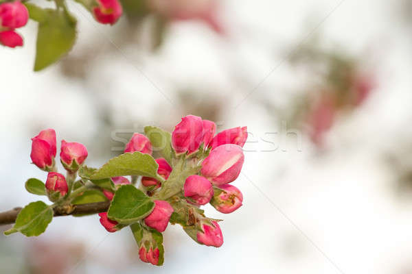 spring flower with shallow focus Stock photo © artush