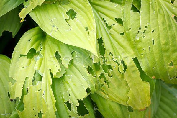 Levelek zöld levelek kert virág textúra levél Stock fotó © artush