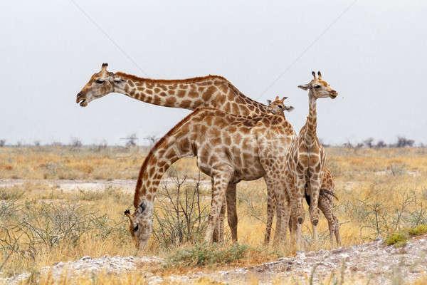 adult female giraffe with calf grazzing Stock photo © artush