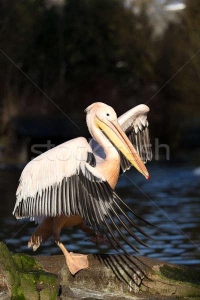 rare Spot-billed pelican, Pelecanus philippensisin Stock photo © artush