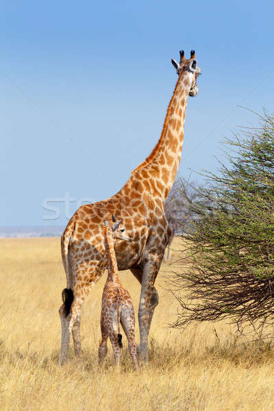 adult female giraffe with calf Stock photo © artush