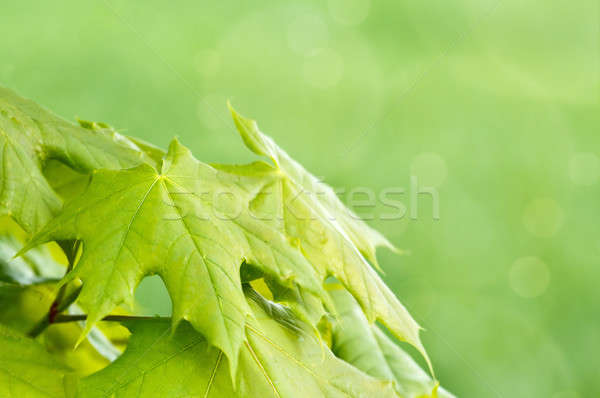 Verde primavera poco profondo focus bokeh estate Foto d'archivio © artush