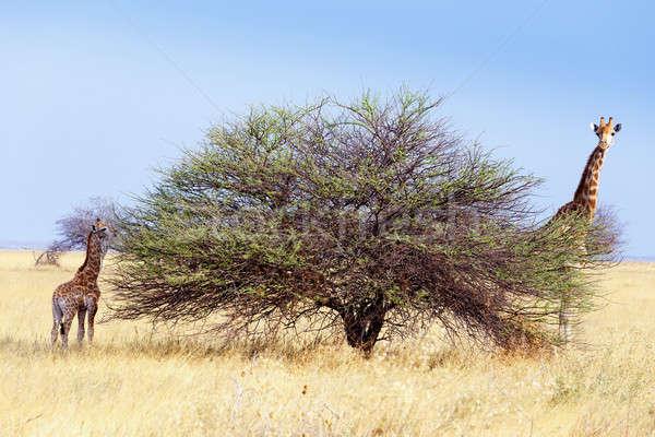 взрослый женщины жираф парка Намибия живая природа Сток-фото © artush