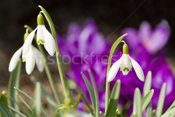Snowdrop bloom in springtime Stock photo © artush