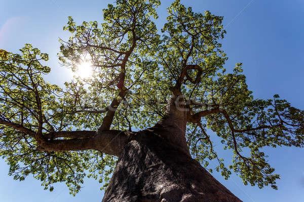 Drzewo starych Botswana Zimbabwe granicy Zdjęcia stock © artush