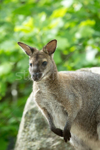 Closeup of a Red-necked Wallaby (Macropus rufogriseus) Stock photo © artush