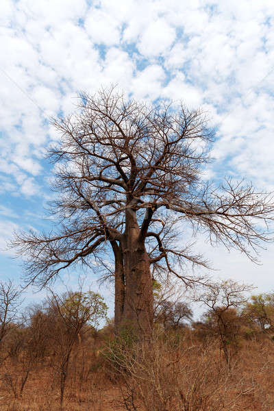Lonely old baobab tree Stock photo © artush