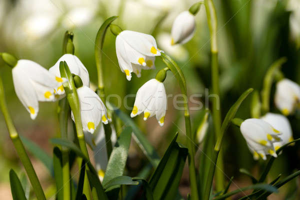 early spring snowflake flowers Stock photo © artush