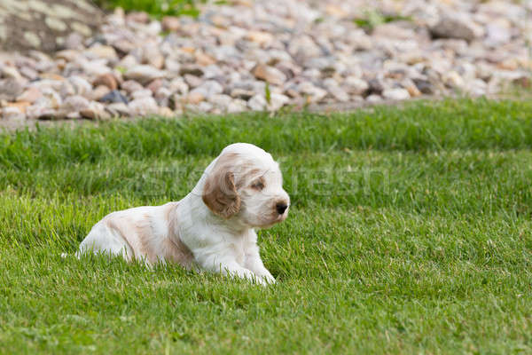 small purebred English Cocker Spaniel puppy Stock photo © artush