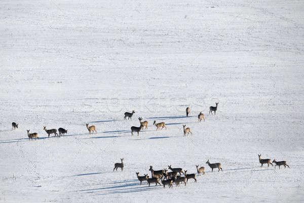 群れ ヨーロッパの 鹿 風景 チェコ共和国 ストックフォト © artush