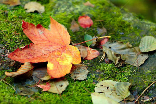 Stock photo: composition of autumn maple leaf