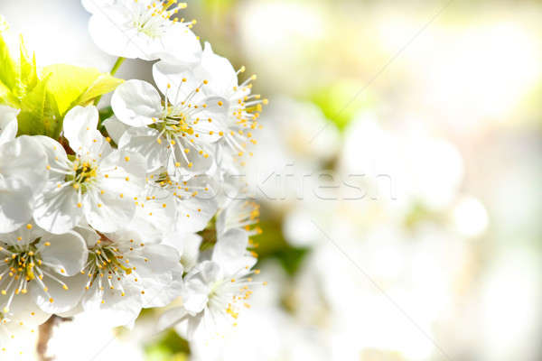 Blossoming apple garden in spring with very shallow focus Stock photo © artush