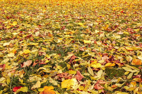 Fall orange and yellow autumn leaves on ground Stock photo © artush
