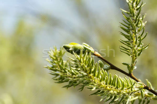 Green spring background Stock photo © artush
