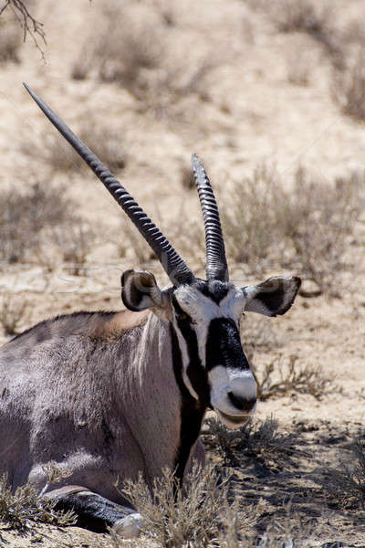 close up portrait of Gemsbok, Oryx gazella Stock photo © artush