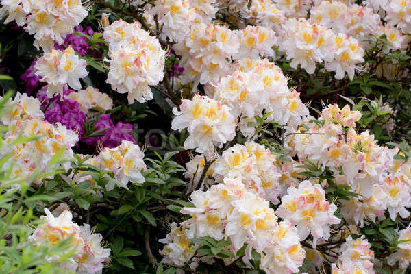 White azalea, Rhododendron bush in blossom Stock photo © artush