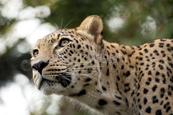 Kafa atış leopar kafkas doğa kar Stok fotoğraf © artush