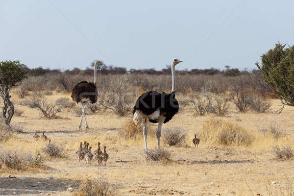 Family of Ostrich with chickens, Namibia Stock photo © artush