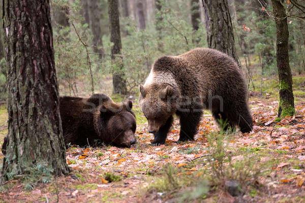 Invierno forestales grande femenino masculina Foto stock © artush