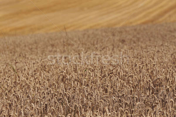 harvested and unharvested field Stock photo © artush