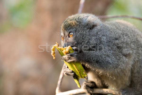Keleti bambusz Madagaszkár tartalék eszik gyümölcs Stock fotó © artush