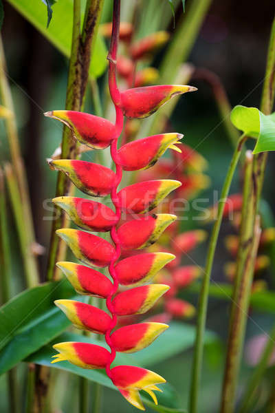 Heliconia rostrata flower, Nosy Be, Madagascar Stock photo © artush