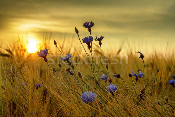 summer sunset over grass field with shallow focus Stock photo © artush