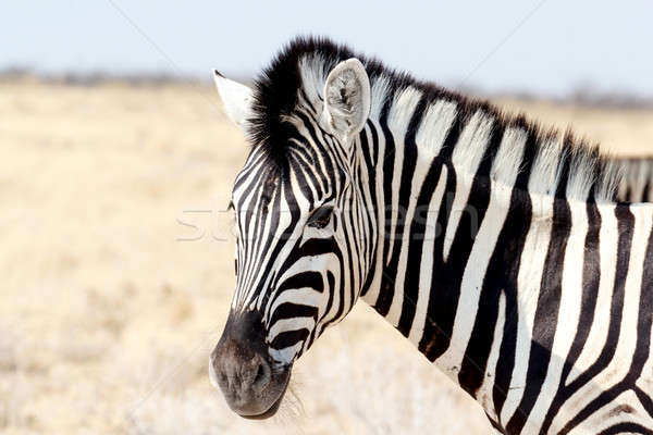 Zebra portrait. Burchell's zebra, Equus quagga burchellii. Stock photo © artush