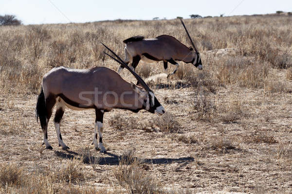 Gemsbok, Oryx gazella Stock photo © artush