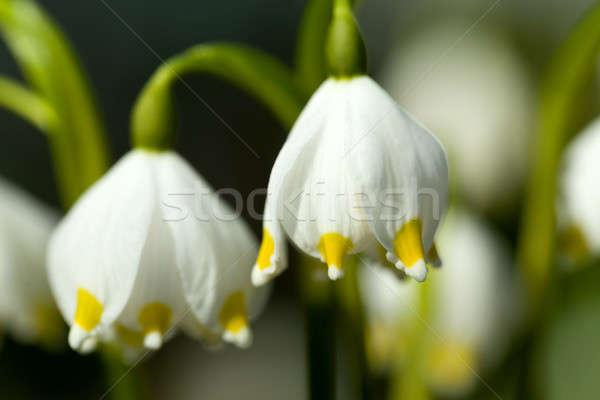 Erken bahar kar tanesi çiçekler grup orman Stok fotoğraf © artush