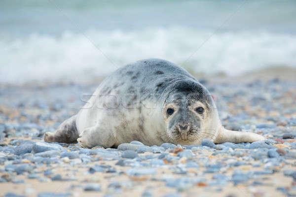 Young atlantic Grey Seal portrait Stock photo © artush