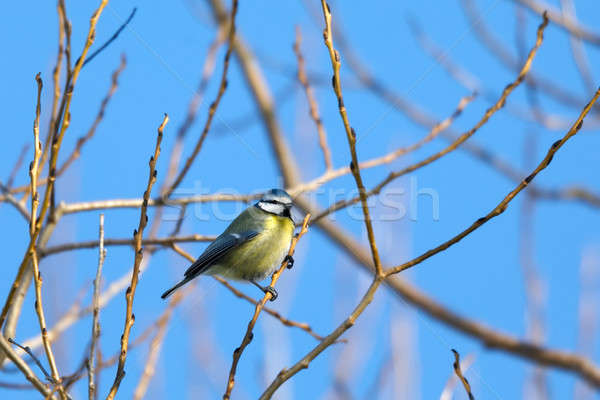 beautiful small bird great tit in winter Stock photo © artush