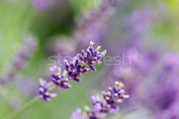summer lavender flowering in garden Stock photo © artush