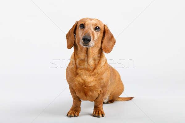 çok güzel daksund portre hayvan Stok fotoğraf © artush