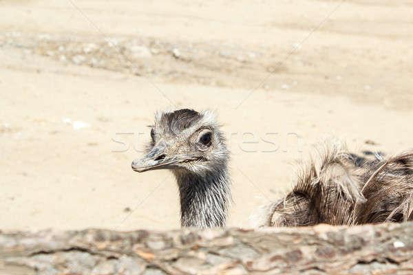 Retrato avestruz tiro fazenda República Checa cara Foto stock © artush